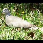 Eurasian Collared-Dove or Ring-Necked Dove