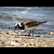 GH4 VFR 96FPS  Ruddy Turnstone