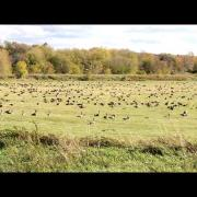 Canada Goose EVERYWHERE - Bernaches!