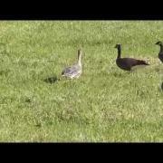 Tundra Bean-Goose at Nestucca NWR 11-11-2014