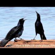 Boat tailed Grackle Display
