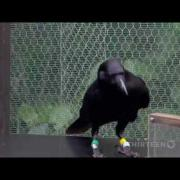 Crow Using Tools
