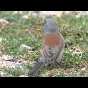Yellow-eyed Junco - Tucson, AZ - 09-15-11