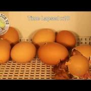 Chick Hatching Video
