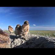 Adorable Burrowing Owl Chicks