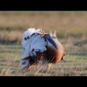 Great Bustard Display
