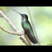 Magnificent Hummingbird male.mpg