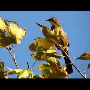 California Thrasher Songster - Los Liones Cyn. - Aug 30, 2015