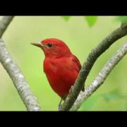 Summer Tanager — The Rosy Redbird