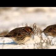 IJsgors - Calcarius lapponicus - Lapland Longspur
