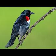 Tricolored Blackbird Colony in Tuolumne County