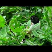 Eastern Towhee Song - Pennsylvania