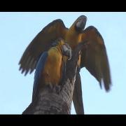 Nest Macaw, Blue-and-yellow Macaw, Ara ararauna, Wild birds,