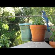 Western scrub jay whispers, squawks, and steals