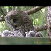 GREAT GREY OWL Lappuggla (Strix nebulosa)  Klipp -                  21