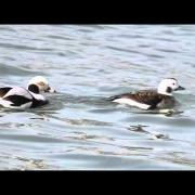 Long-tailed Ducks on Lake Ontario Feb 2016