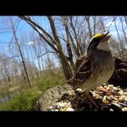White-Throated Sparrow pose and 1/2 call