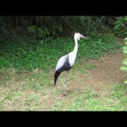 Wattled Crane Calling