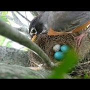 Brood parasitism: American Robin rejects a Cowbird egg