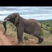 Elephant Interrupts Ostrich Fight - Tarangire, Tanzania May 2011