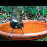 Elusive Eastern Whipbird takes a bath