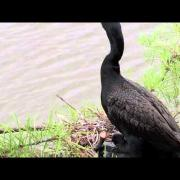 Double-crested Cormorant Family