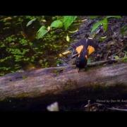 720p  Butterfly like birds - American Redstart- Male & Female