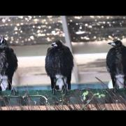 Three Australian Magpies Sing in Unison