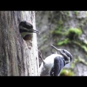 Hairy Woodpecker Nest