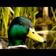 Mallard [Drake] (Anas platyrhynchos ♂) / Stockente oder Märzente [Erpel] - 6