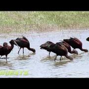 GLOSSY IBIS BIRDS EATING WORMS ~  ARIZONA