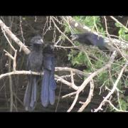 Groove-billed Ani family Rio Grande Valley 2014-08-17