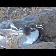 Swallow-tailed Gulls, North Seymour, Galápagos Islands