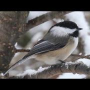 Black-capped chickadee, call