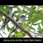 Grey-rumped Treeswifts Cooperative Nesting
