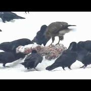 Estonia Winter EagleCam 22 Jan 2012 Buzzard and Ravens