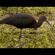 Glossy Ibis at Chapel Amble - Wildlife in Cornwall