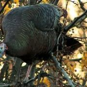 Nature: Wild Turkeys