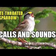 White-throated Sparrow Calls and Sounds - [HD]