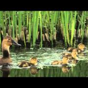 A female Canvasback swimming with ducklings
