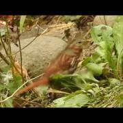 Fox Sparrow Double-scratching