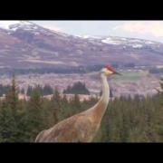 Sandhill Crane Vocalizations