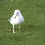 A dancing Herring Gull