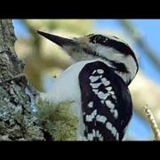 Hairy Woodpecker - April 12, 2015