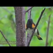 American Redstart in Maine