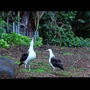 K747 and an Unbanded Adult Dancing — Cornell Lab | Kauai Laysan Albatross Cam