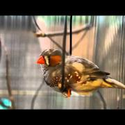 Zebra Finch sings on a swing