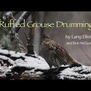 Ruffed Grouse Drumming