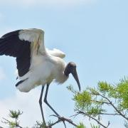 Wood Stork Rookery - Wakodahatchee Wetlands, Florida