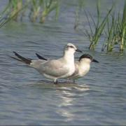 Tagaz - Gelochelidon nilotica - Gull-billed Tern